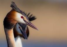 伟大的有顶饰格里布Podiceps cristatus 免版税库存照片