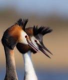 伟大的有顶饰格里布Podiceps cristatus 图库摄影