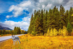 伟大的极性狼在森林 免版税图库摄影