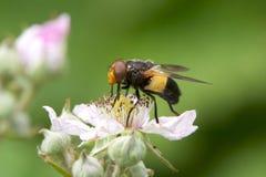 伟大的染色Hoverfly,哺养在花 免版税库存图片