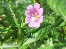 伟大的柳草或长毛的柳草(柳叶菜属hirsutum) 免版税库存图片