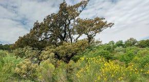 伟大的树的雄伟在森林上引人注意 免版税库存图片