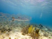 伟大的梭子鱼和大眼鲷大量02 免版税库存照片
