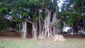 伟大的榕树在有许多分支的村庄根源100岁 免版税库存照片