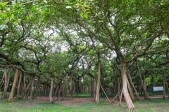伟大的榕树,豪拉,西孟加拉邦,印度 库存照片
