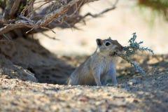 伟大的沙鼠Rhombomys opimus 库存图片