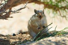 伟大的沙鼠Rhombomys opimus 图库摄影