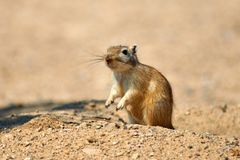 伟大的沙鼠Rhombomys opimus 免版税库存照片