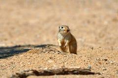 伟大的沙鼠Rhombomys opimus 免版税库存图片