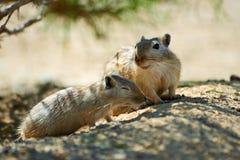 伟大的沙鼠Rhombomys opimus 免版税图库摄影