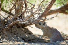 伟大的沙鼠Rhombomys opimus 库存照片