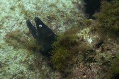 伟大的海鳗 免版税库存图片