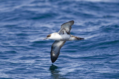 伟大的海鸥类飞鸟 库存图片