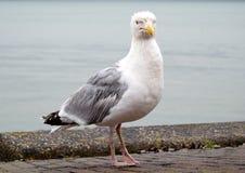伟大的海鸥 库存图片