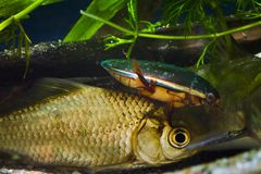 伟大的潜水的甲虫、Dytiscus marginalis、男性狩猎在鲫属gibelio,普鲁士人的鲤鱼、共同的野生淡水昆虫和鱼 库存图片