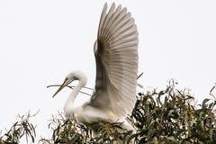 伟大的白色嵌套白鹭 库存图片