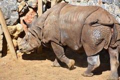 伟大的白色犀牛 免版税图库摄影