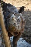 伟大的白色犀牛 免版税库存照片