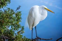 伟大的白色白鹭在奥兰多,佛罗里达 图库摄影