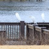 伟大的白色白鹭在征收栖息 免版税图库摄影