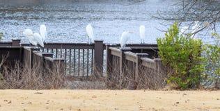 伟大的白色白鹭在征收栖息 图库摄影