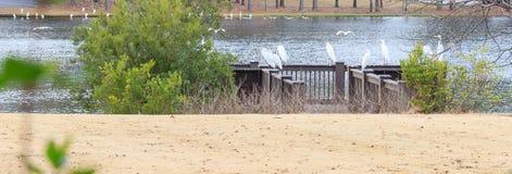 伟大的白色白鹭在征收栖息 库存照片
