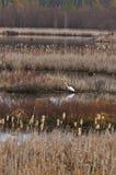 伟大的白色白鹭或白色苍鹭 免版税库存照片