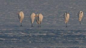 伟大的白色白鹭群-晨曲的Ardea享受黎明光芒 股票视频