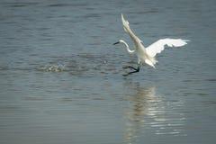 伟大的白色白鹭,晨曲的Ardea 库存图片