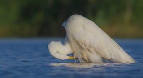 伟大的白色白鹭& x28;晨曲晨曲的白鹭属/的Ardea & x29; 免版税图库摄影