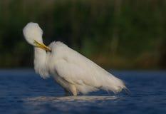 伟大的白色白鹭& x28;晨曲晨曲的白鹭属/的Ardea & x29; 库存图片