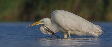 伟大的白色白鹭& x28;晨曲晨曲的白鹭属/的Ardea & x29; 免版税库存照片