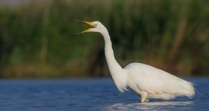 伟大的白色白鹭& x28;晨曲晨曲的白鹭属/的Ardea & x29; 库存照片