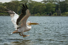 伟大的白色鹈鹕在飞行中在奈瓦夏湖,肯尼亚 库存图片