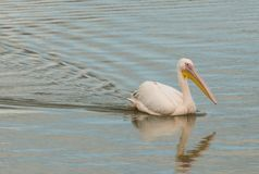 伟大的白色鹈鹕游泳在池塘 库存照片