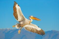 伟大的白色鹈鹕, Pelecanus crispus,在湖Kerkini,希腊 与开放翼的Palican,寻找动物 从Europ的野生生物场面 免版税图库摄影