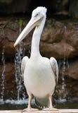 伟大的白色鹈鹕 免版税库存图片