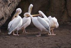 伟大的白色鹈鹕- Pelecanus onocrotalus家庭  免版税库存图片