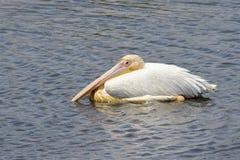 伟大的白色鹈鹕(Pelecanus onocrotalus)在水中 免版税库存照片