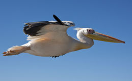 伟大的白色鹈鹕- Pelecanus onocrotalus -纳米比亚 库存照片