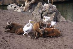 伟大的白色鹈鹕- Pelecanus onocrotalus 库存照片