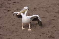 伟大的白色鹈鹕- Pelecanus onocrotalus 免版税图库摄影