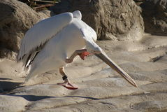 伟大的白色鹈鹕- Pelecanus onocrotalus 免版税库存图片