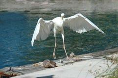 伟大的白鹭做了光滑的着陆 免版税库存图片