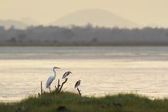 伟大的白鹭和印地安池塘苍鹭在Arugam海湾盐水湖,瘦的Sri 库存图片