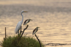 伟大的白鹭和印地安池塘苍鹭在Arugam海湾盐水湖,瘦的Sri 免版税库存图片