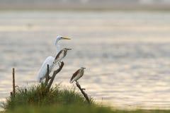 伟大的白鹭和印地安池塘苍鹭在Arugam海湾盐水湖,瘦的Sri 库存照片