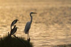 伟大的白鹭和印地安池塘苍鹭在Arugam海湾盐水湖,瘦的Sri 免版税库存照片