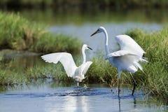 伟大的白鹭和小白鹭在Potuvil,斯里兰卡 免版税图库摄影