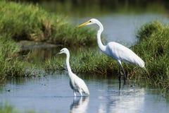 伟大的白鹭和小白鹭在Potuvil,斯里兰卡 库存图片